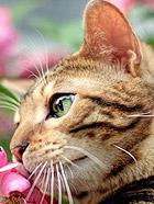 家有豹猫之猛虎嗅蔷薇