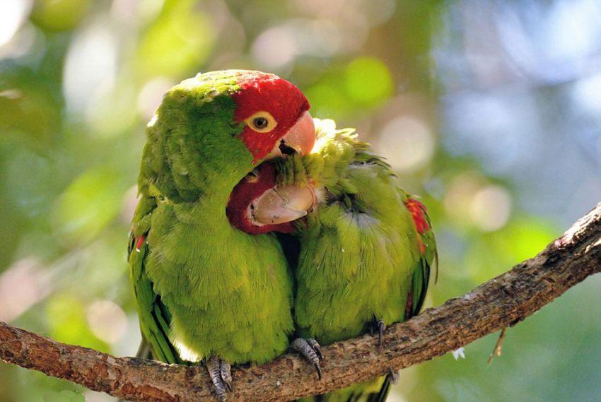 南非爱情鸟枝头相拥共享亲密时光